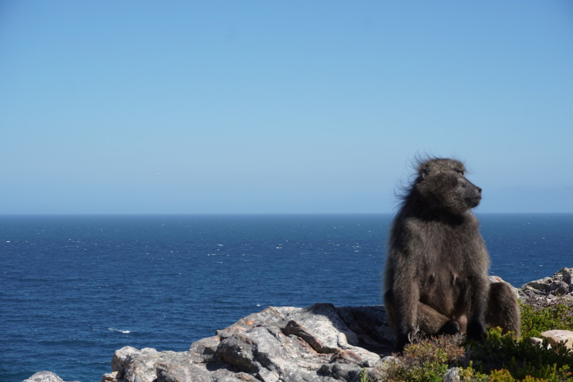 Baboon at Cape of Good Hope