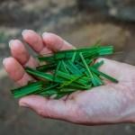 Lemon Grass, Spice Farm, Zanzibar, Tanzania