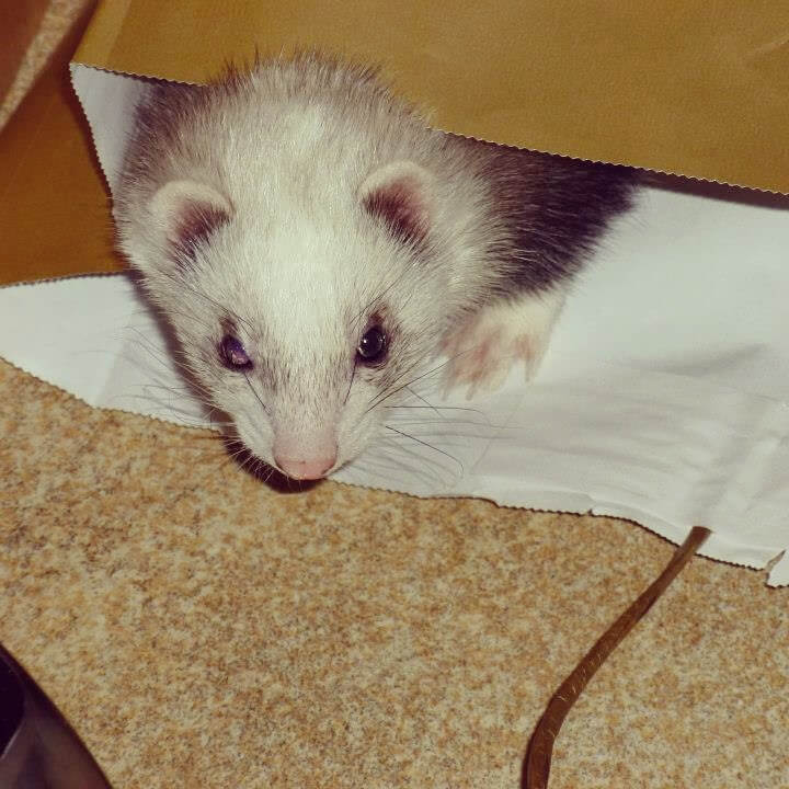 Ferrets get into EVERYTHING