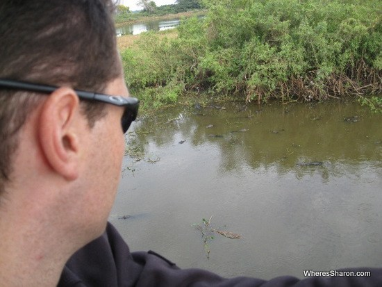 A pack of lurking caimans in the pantanal wetlands tour brazil