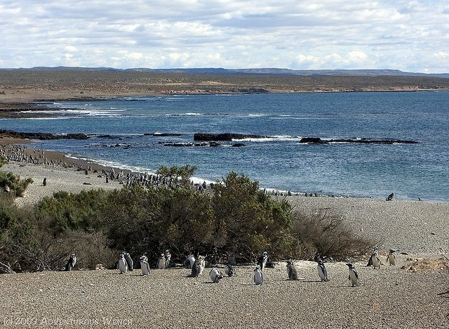 penguins at Punto Tombo
