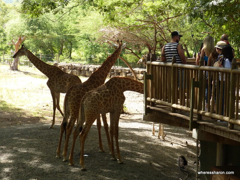 Casela World of Adventures giraffe platform