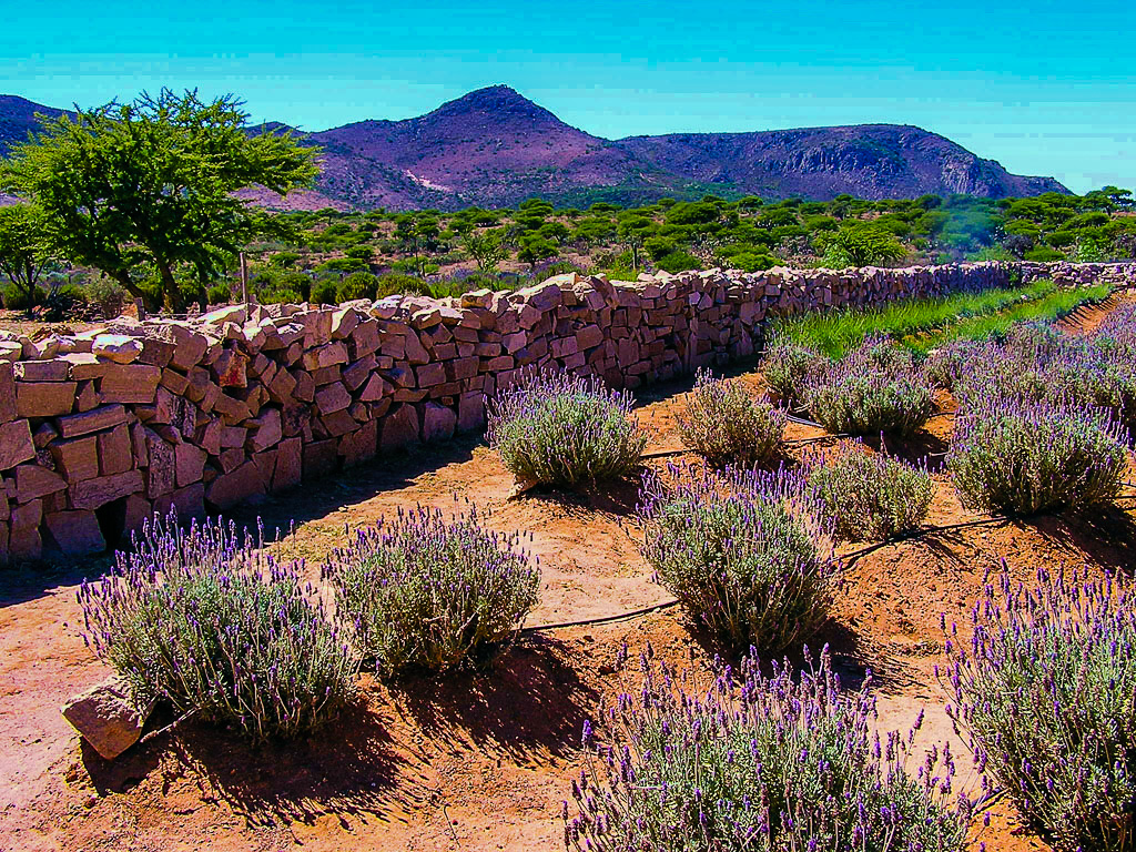 Fragrant lavender farms outside San Miguel de Allende at Mineral de Pozos.