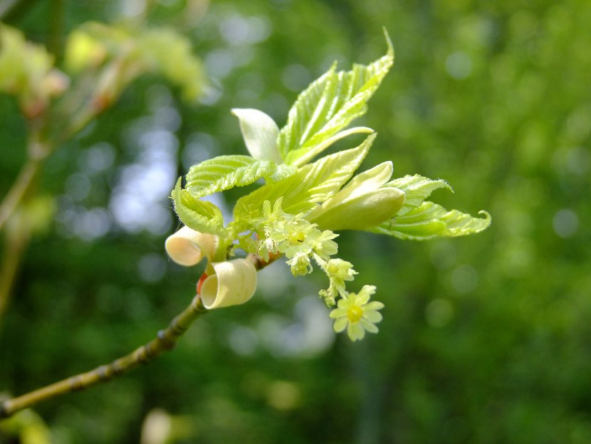 maple blossom for maple bacon cookies