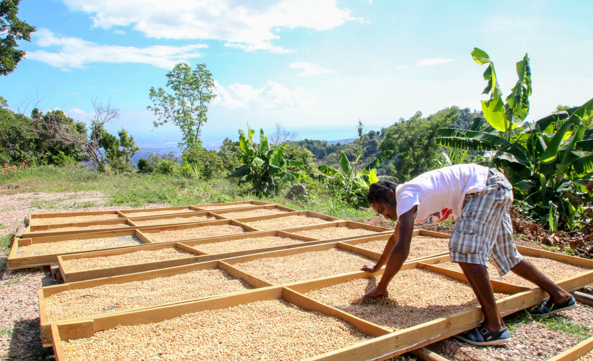 essicatura-caffè-jamaica-trumpet-tree