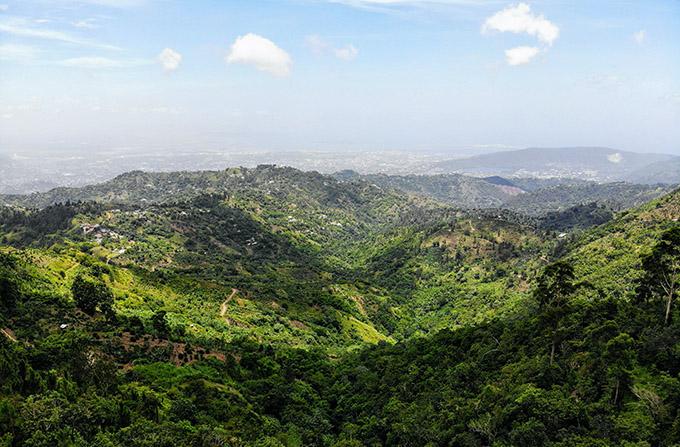 caffè-jamaica-blue-mountain-trumpet-tree