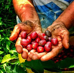 il caffè della Colombia - raccolta