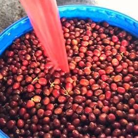 Il caffè della Colombia - fermentazione