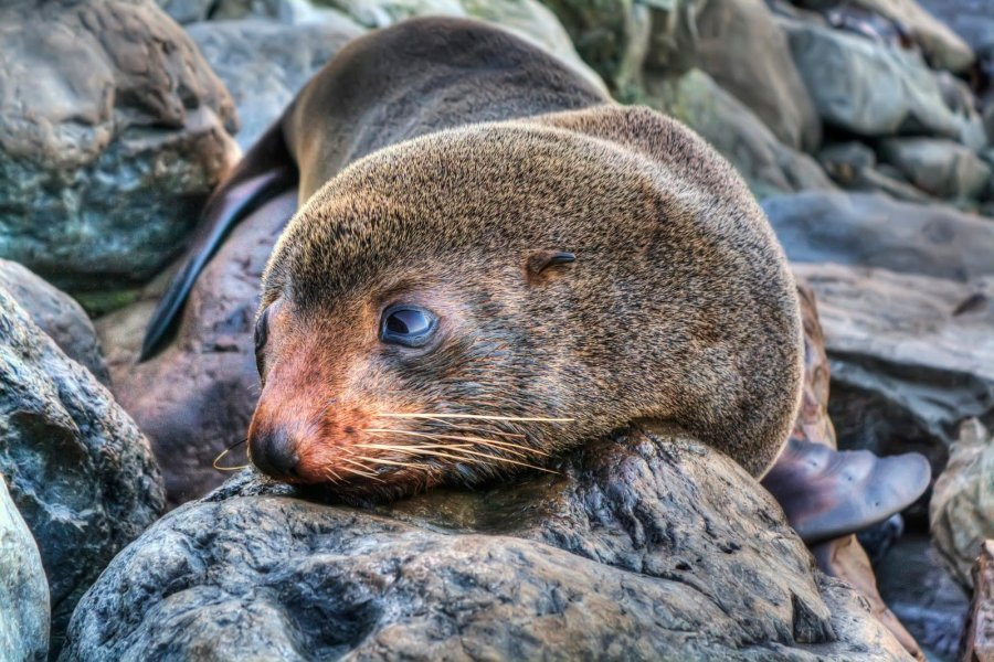 Sleepy Seal NZ William Woodward