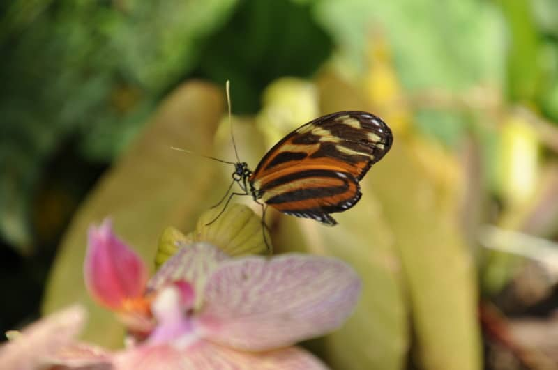 The Gainesville Butterfly Rainforest is one of the best things to do in Gainesville, Florida.