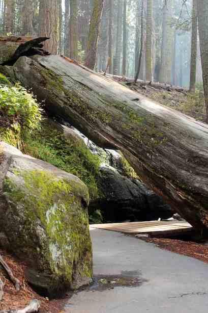 Fallen Tree over pathway