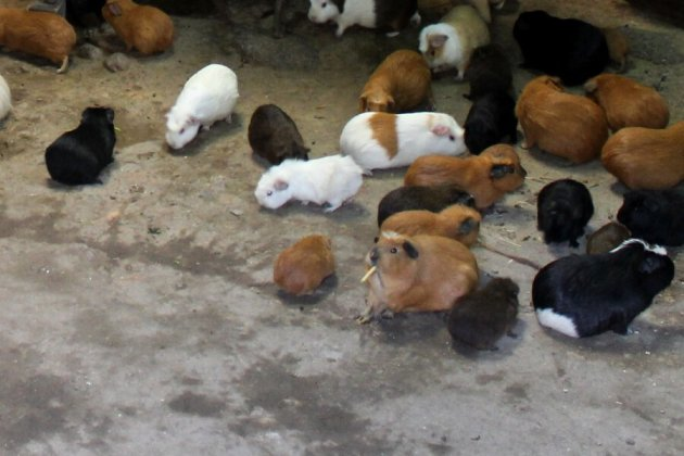 live guinea pigs in a house in Ollantaytambo