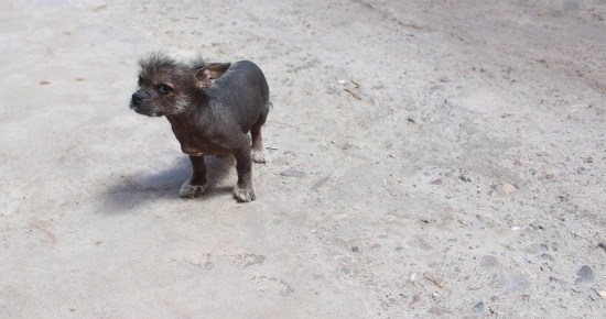 Peruvian Hairless Dog Puppy Peru