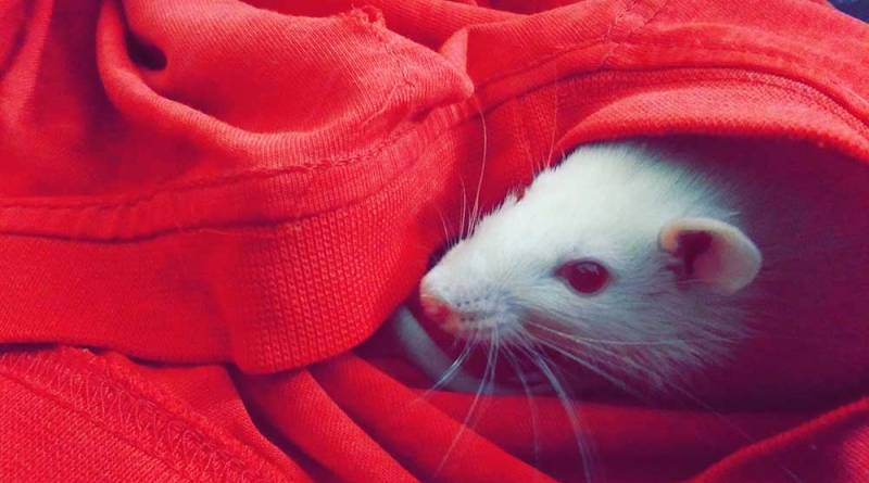 Pet Rat Names Find The Perfect Names For Your Fancy Rats Which Pet Name