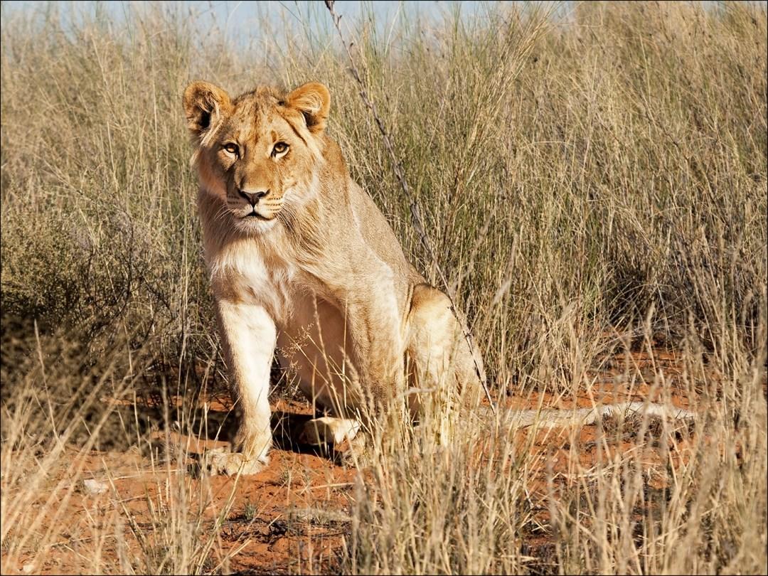 lion-kalahari