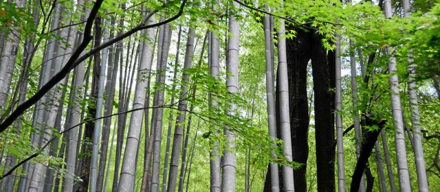 Der Bambuswald hinter Yamazaki