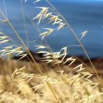 Madeira Küste Getreide
