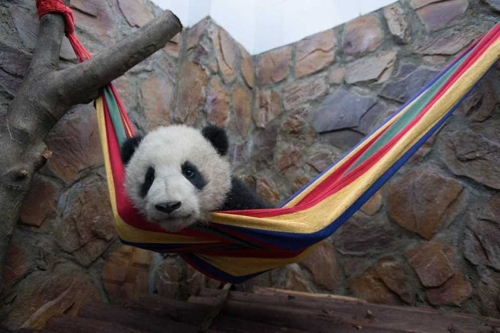 Wine a 4-Pack of Tickets to see Pandas in IMAX