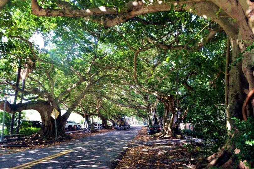 giant babyan trees Coral Gables Florida