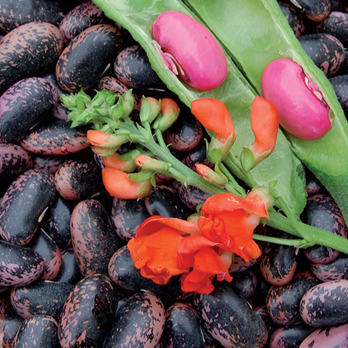 50 Scarlet Runner Beans, Phaseolus vulgaris