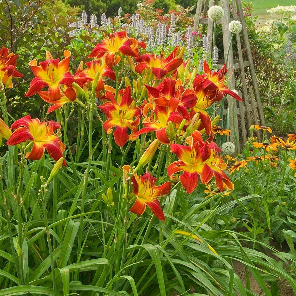 Daylily Flower Flowers Ideas For Review