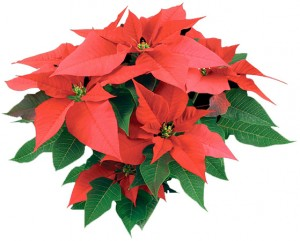 The Christmas Poinsettia, first introduced to America during John Quincy Adams' presidency