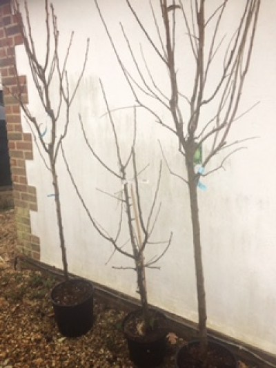 First of fruit trees 225x300 - New Beginnings in the Garden