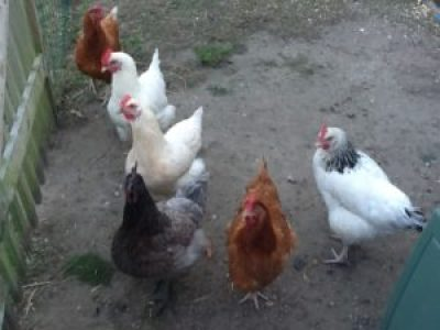 Chickens 2 e1509378313791 300x225 - Renovate and Build - One step closer and a look back in time