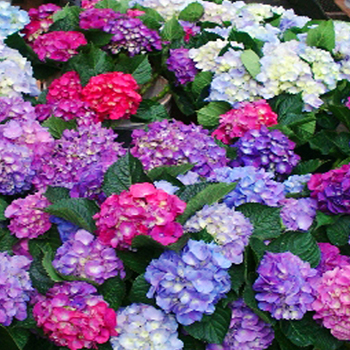 "The image ""https://i2.wp.com/www.wholeblossoms.com/img/productos/Assorted-Hydrangeas-elite-w.jpg"" cannot be displayed, because it contains errors."