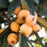 Amazingly Creative Kumquat and Loquat Recipes