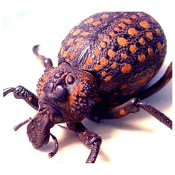Moose Face Lilly Weevil