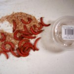 Jumbo red mealworms