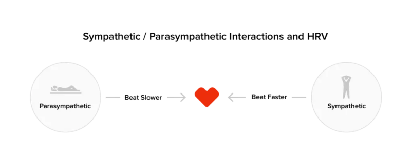 How the sympathetic and parasympathetic branches of the nervous system affect heart rate.