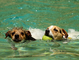 Board and Train dogs swimming with ball