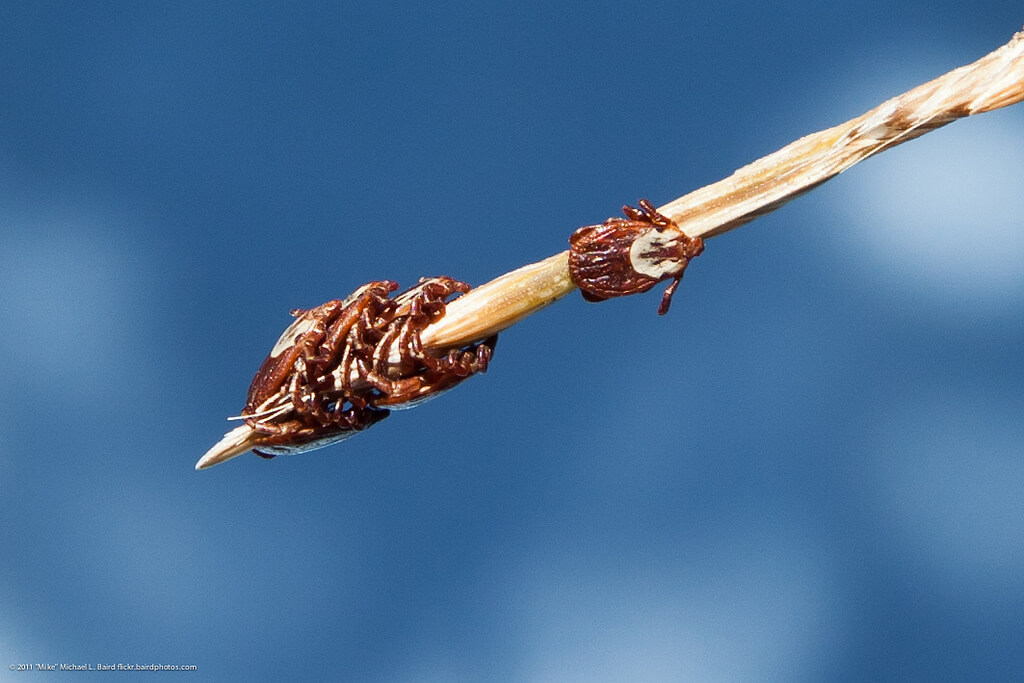 Six Pacific Coast Ticks (Dermacentor occidentalis) clustered on a stick.