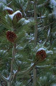 Cones on a Fir Tree