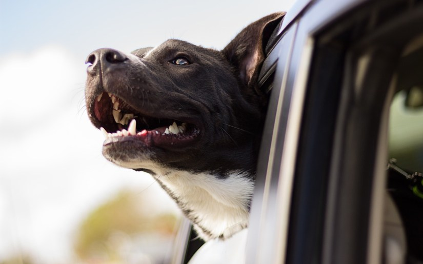 Dog in a car via pixabay