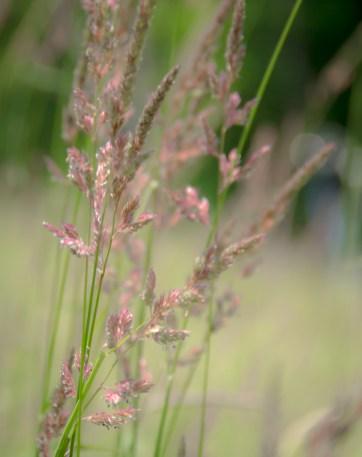 Green Mountain Grass