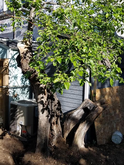 This tree in Boulder's Whittier neigborhood was described to us as being a big tree when the previous owner of the property was young.  It's trunk, though decaying, is very large.  We have grafted several new copies of this tree. (c) 2017 by Eric Johnson