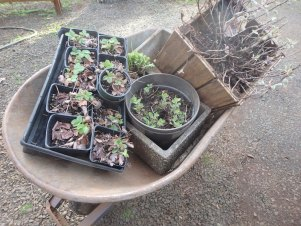 Transplanting herbs and starts from the garden to containers