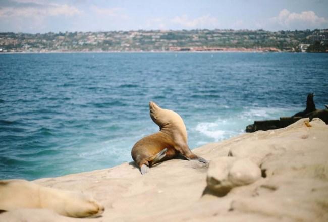 La Jolla 海獅海豹