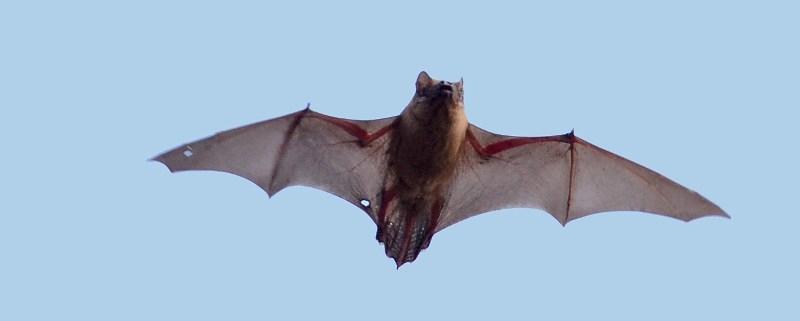 Afbeeldingen van een vleermuis in vlucht Haarlem