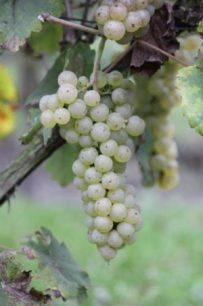 Johanniter-druif