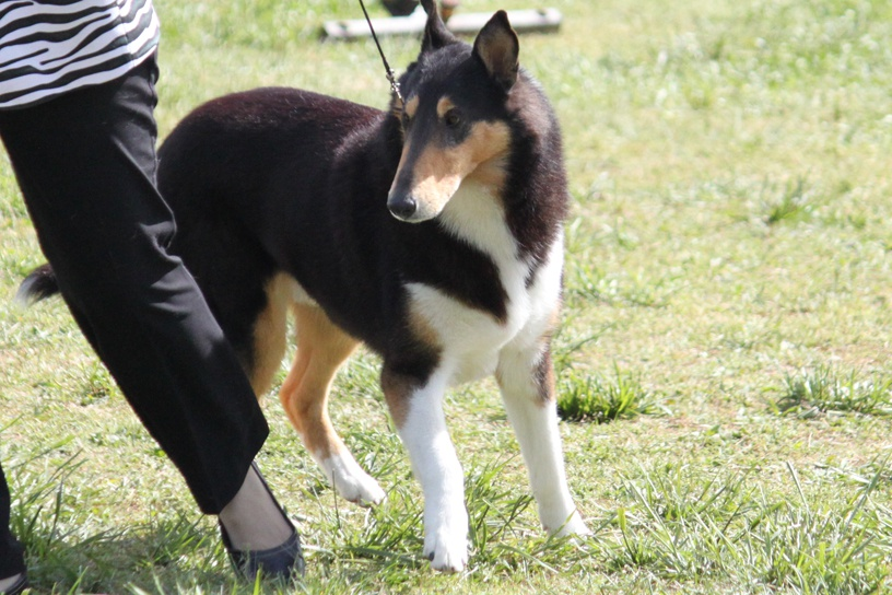 Collie Smooth And Rough Coat Breed Information Collie