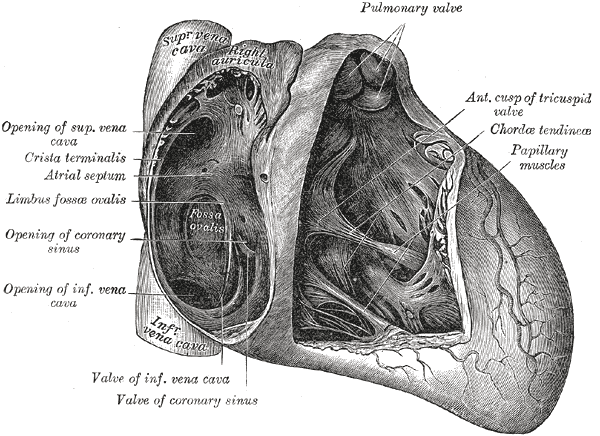 The Anatomy Of Heart Ventricular Septum