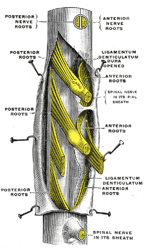 Posterior Root Ganglion