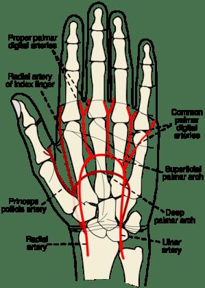 Radial artery  wikidoc