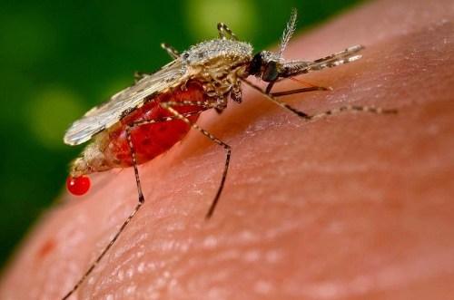 Image of Anopheles stephensi mosquito