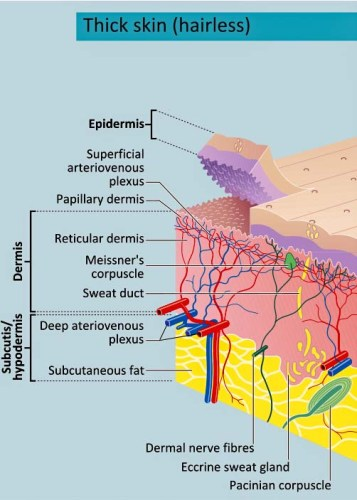 Cross-section of thick epidermis and dermis