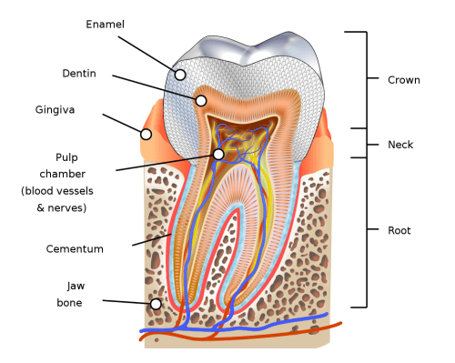 Human tooth diagram